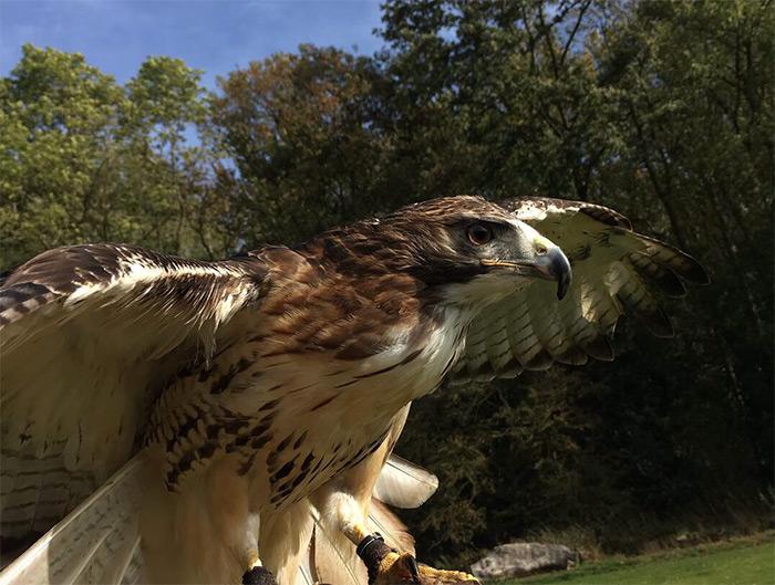 Adopt a bird of prey
