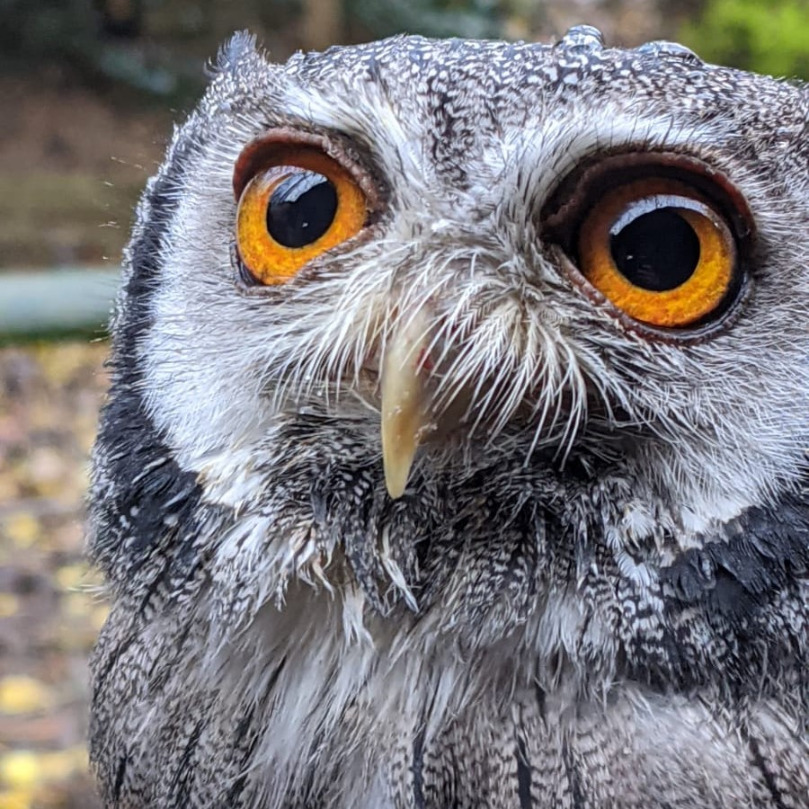 white faced scops owl - Crisp - Rutland Falconry and Owl Centre