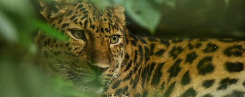 Big Cat Days at Rutland Falconry and Owl Centre - Dende - Leopard