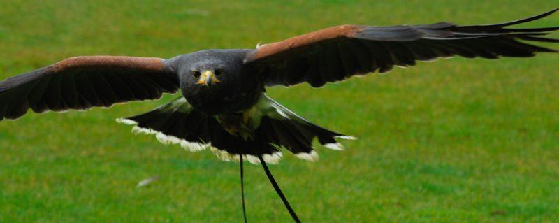 Harris hawk, learn to fly a hawk, falconry, rutland falconry and owl centre